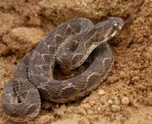 Saw Scaled/Carpet Viper